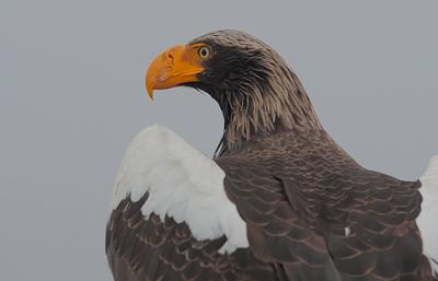 На Сахалине для белоплечих орланов строят искусственные гнезда
