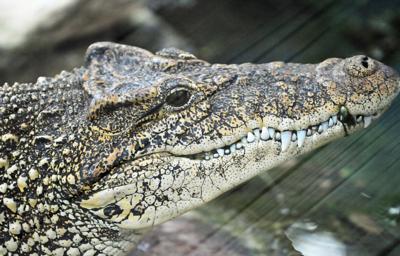 На Кубе 10 крокодилов редкого вида выпустили в болото Сапата