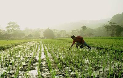 Традиционные сорта риса могут исчезнуть с полей