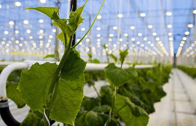 Во Владимирской области знают, как зимой вырастить овощи без единого химиката