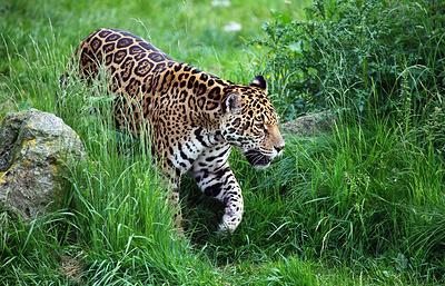 Существованию ягуаров Боливии угрожает китайское хобби