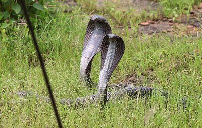 Ученые составили карты змеиной опасности в мире