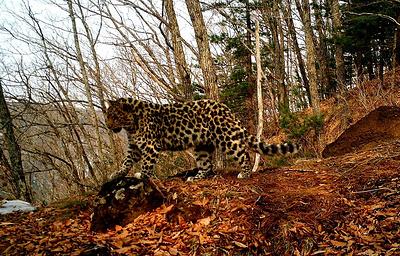 Самка леопарда Грация оказалась самой многодетной матерью нацпарка...