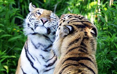 Популяция тигров в Непале увеличилась в два раза