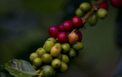 Ученые: 60% видов дикорастущего кофе находится под угрозой исчезновения