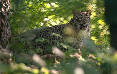 Поиском пропавшего в Южной Осетии леопарда Эльбруса займется спецэкспедиция