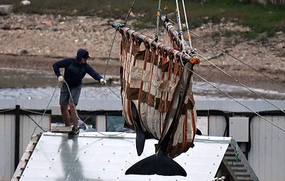 Минприроды: оставшихся в приморской бухте косаток выпустят до конца лета