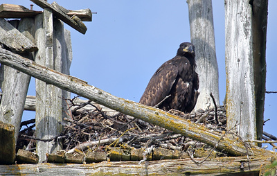 Для сохранения популяции орланов в Ненецком АО строят специальные вышки-гнезда