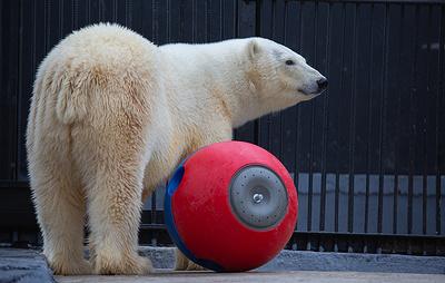Белая медведица, обнаруженная в июне в Норильске, прошла курс реабилитации