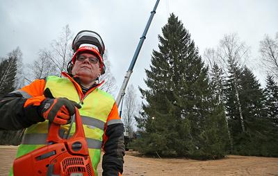 Главную новогоднюю елку страны срубили в Можайском округе Подмосковья