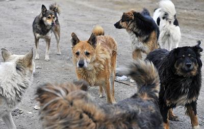 СК установил подозреваемого по делу о гибели женщины после нападения собак в Красноярске
