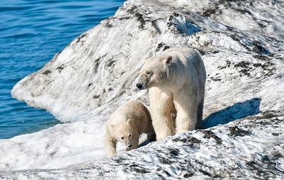 Программу подсчета белых медведей в Арктике запустят в 2020 году