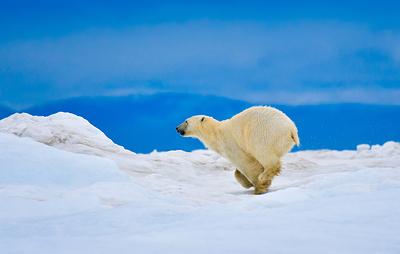 Ученые Чукотки первыми в России начнут использовать SMART-систему для учета белых медведей