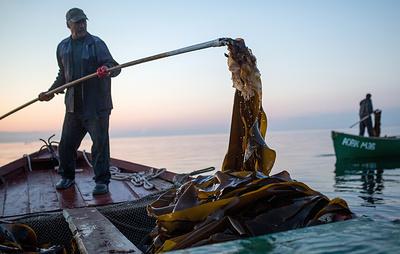 Резидент Свободного порта Владивосток начал промысел ламинарии в Хабаровском крае