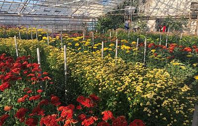 Бал хризантем в ботаническом саду под Волгоградом за 12 дней собрал более 1,5 тыс. гостей