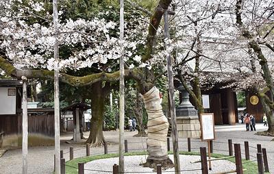 Второй год подряд сезон любования сакурой в Токио срывает пандемия