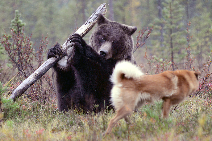 A decoy bear used to train a hunting dog in the Murmansk Regiion