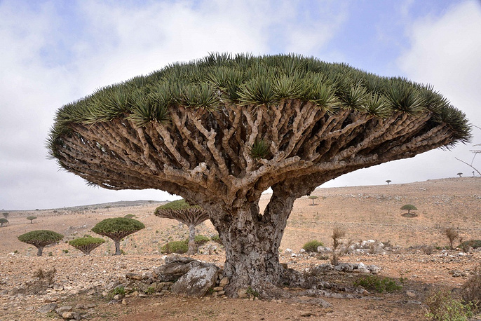 Socotra archipelago of four islands in the Indian Ocean is very isolated. A third of its plant life is found nowhere else on the planet. The island was recognised by the UNESCO as a world natural heritage site in 2008