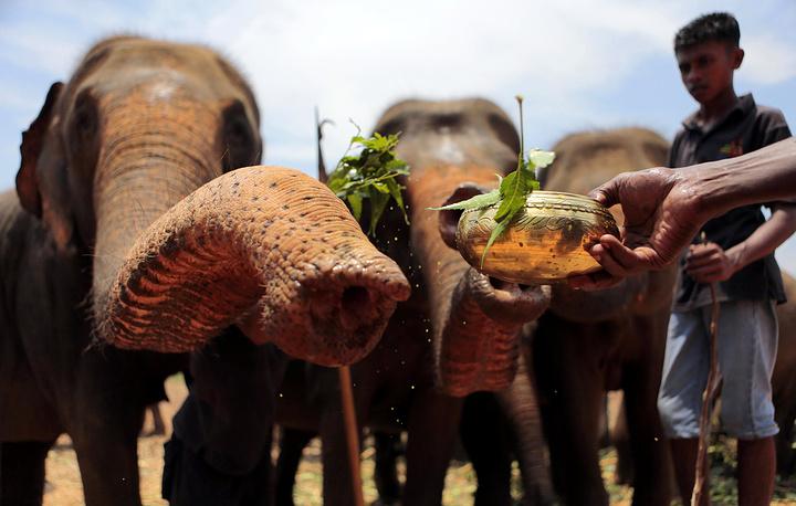 Mahouts performing rituals on elephants in Pinnawala, Sri Lanka
