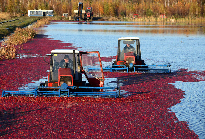 People harvesting cranberries at the Polesskie Zhuraviny enterprise in Belarus, October 30, 2015