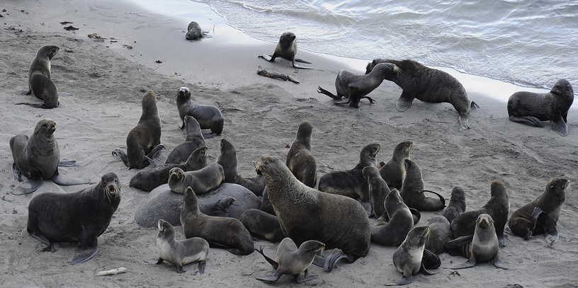 Rookery of fur seals on Berig Island, Kamchatka krai