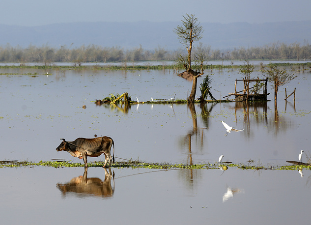 A cow trapped within floodwater in the town of Nabua, Camarines Sur province, Philippines, December 27
