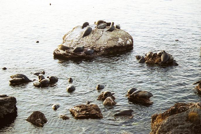 Transbaikal National Park in Buryatia. Photo: Balkal seals choose stones of Ushkany islands for a period of shedding