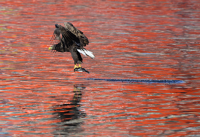 A white-tailed eagle seen over the Zolotoy Rog Bay, Vladivostok, Russia, January 22