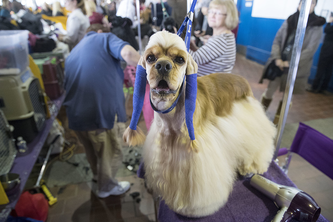 George, an American cocker spaniel, has his ears wrapped after being groomed before competition
