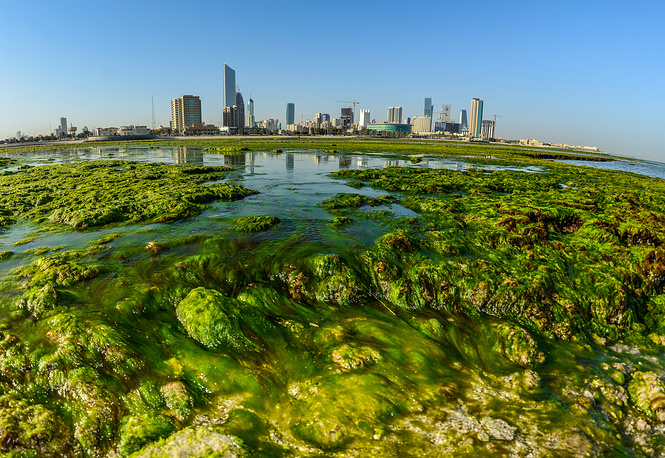 Green algae sits on a beach in Kuwait City, Kuwait, February 28. The formation of green algae is a normal phenomenon that occurs every year at the shores of Kuwait
