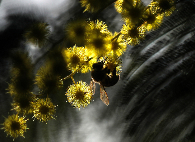 A bee seen on a mimosa branch in bloom in Abkhazia, March 8