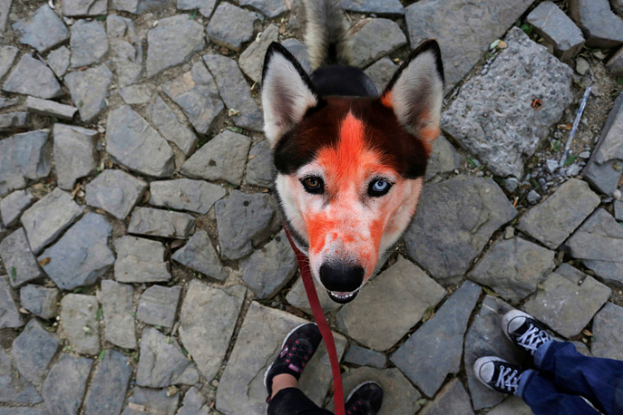 """A dog with """"sindhur"""" (red powder) looks on during Hindu Tihar festival, in whose second day the dogs are worshipped, in Monterrey, Mexico, April 2"""