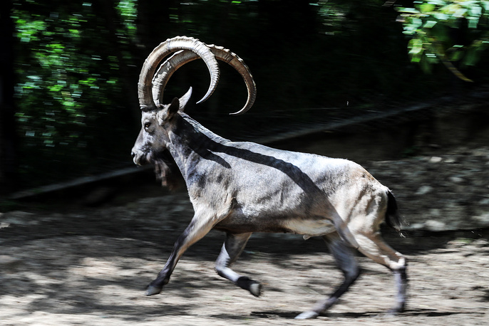 Since excessive disturbance is likely to adversely affect the breeding process of animals, the breeding center is not open to the public. Photo: A Siberian ibex