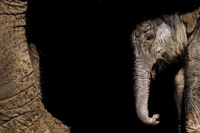 A newborn elephant during his first steps in his outdoor residence in DierenPark Amersfoort Zoo in Amersfoort, The Netherlands, September 25