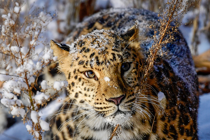 A female Amur leopard named Rona wandering in the snow in Primorye Safari Park, Russia, November 18