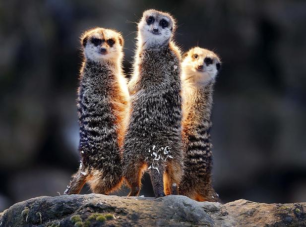 Meerkats chill under a heating lamp in their enclosure in the Opel zoo in Kronberg, Germany, December 19