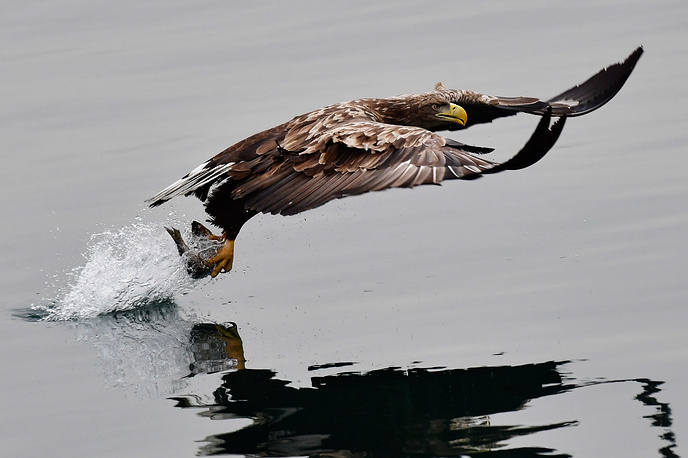 A white-tailed eagle catches a fish the Zolotoy Rog Bay, Russia, January 8