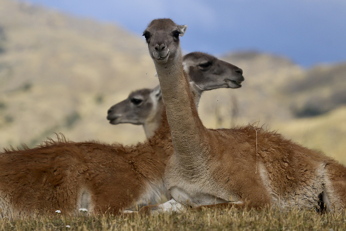 Guanacos sit during a signing ceremony in Patagonia Park, Chile, January 29, 2018. Chilean President Michelle Bachelet signed decrees creating vast new national parks using lands donated by US conservation organization Tompkins Conservation in what is believed to be the largest private donation of land ever from a private entity to a country