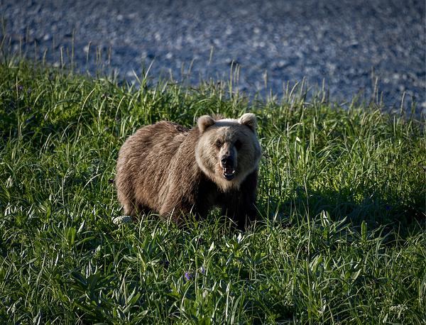 A brown bear on Shipunsky Peninsula