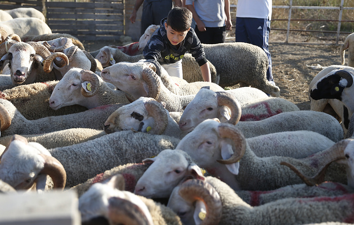 A child controls sacrificial animals for sale, following prayers at the start of the Eid al-Adha, outside a mosque in Istanbul