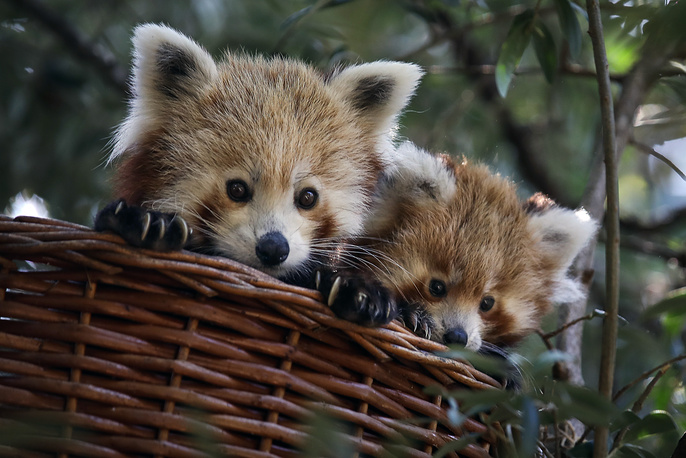 A Red Panda cub and its mother look out from their basket in their enclosure at Lisbon Zoo, September 12