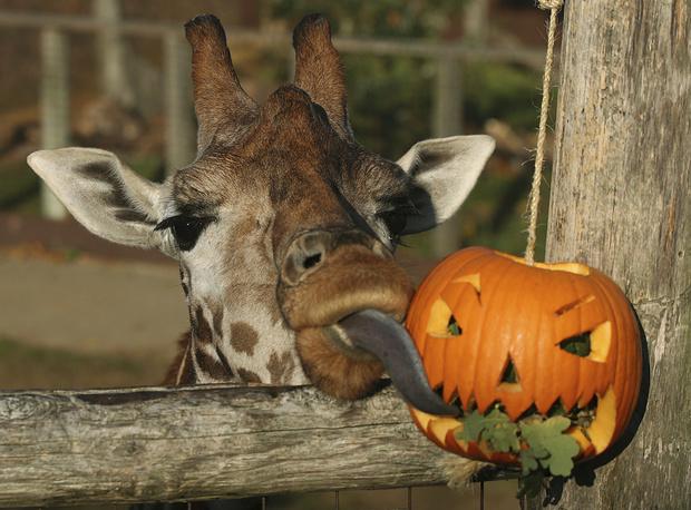 A giraffe eats leaves from a pumpkin as a Halloween treat at London Zoo
