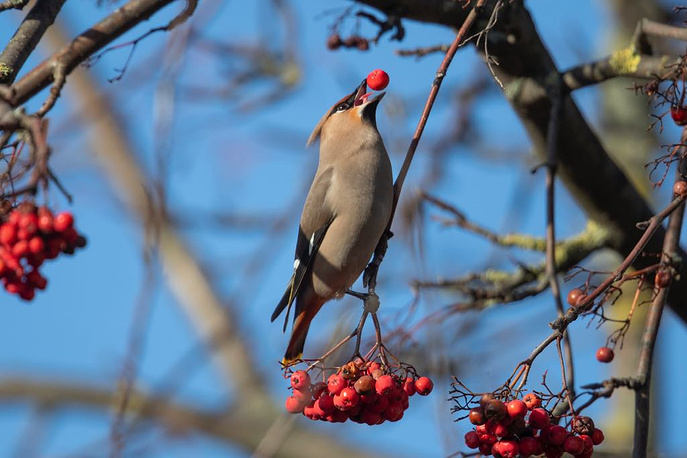 A Waxwing feeds on berries in London, January 28