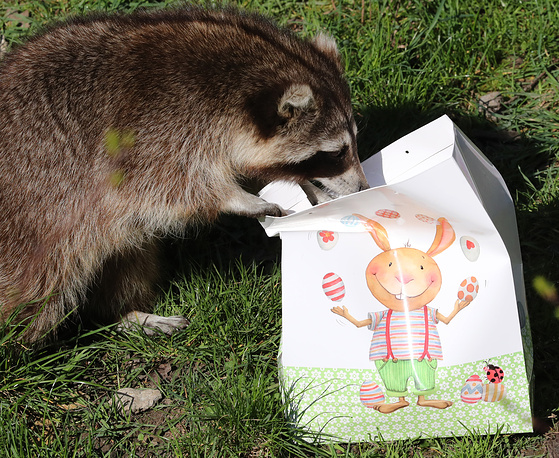 A racoon looking into a bag full of Easter goodies