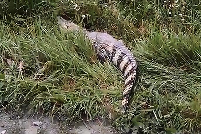 Крокодил, получивший прозвище «Исетский», был замечен в центре Екатеринбурга на берегу реки Исеть. Дальнейшие долгие поиски рептилии результатов не дали. 28 августа 2013 г.