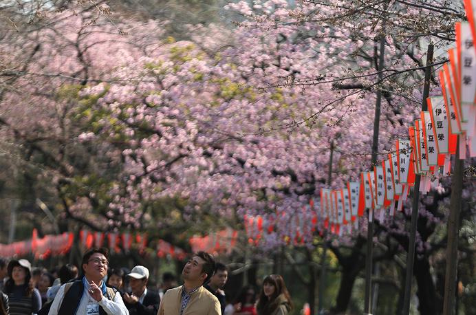 Дата начала цветения сакуры в Японии меняется каждый год и зависит от географического положения и погоды в регионе, где растут деревья