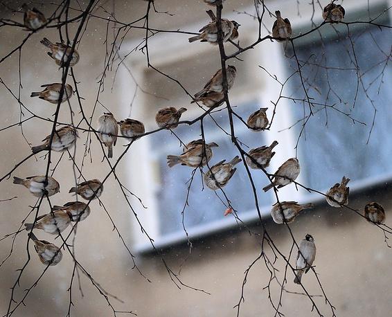 Воробьи на дереве, Иваново, Россия
