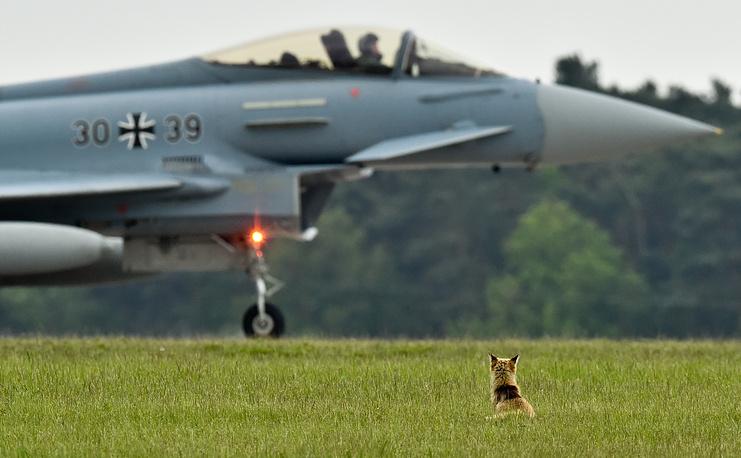 Лисица сидит напротив боевого самолета Eurofighter Typhoon