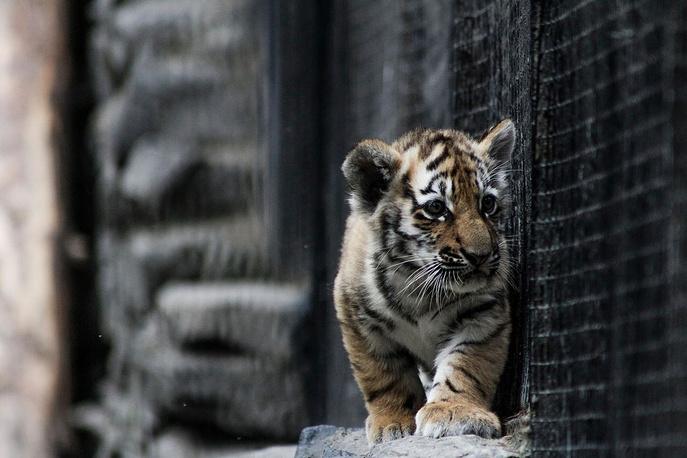 Амурский тигренок, появившийся на свет в конце мая