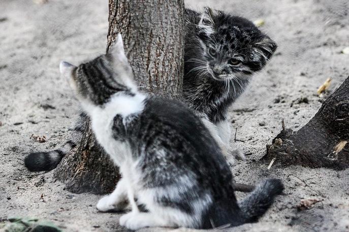 У кошки есть и свой котенок, он также живет в зоопарке